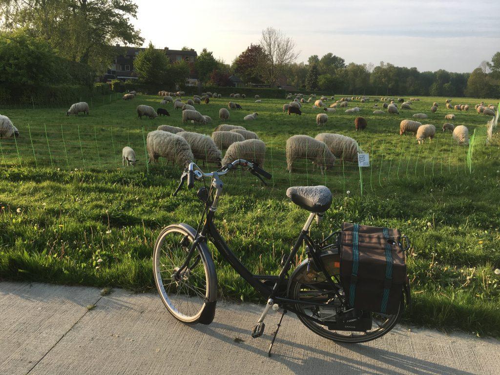 Spartamet Sheep