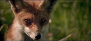 Oostvaardersplassen Fox