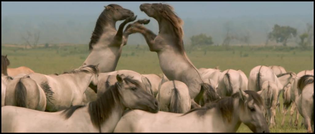 Oostvaardersplassen Wild Horses