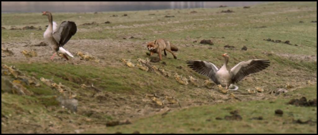 Oostvaardersplassen Fox Hunt