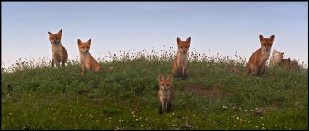 Oostvaardersplassen Foxes