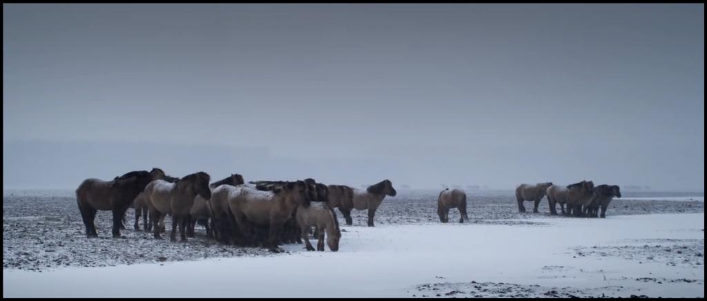 Oostvaardersplassen Wild Horses in Winter